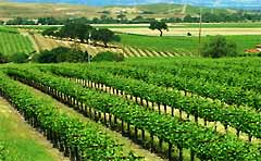 Livermore Vineyard